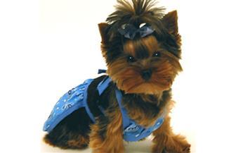 """""""الكلب البكيني"""" متعة أفراد العائلة الإمبراطورية في الصين"""