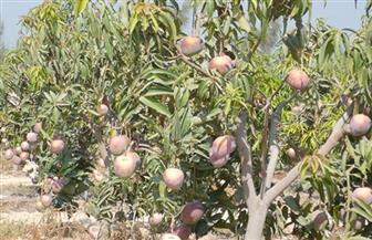 """""""الزراعة"""": معالجة 63 ألف فدان مانجو بالإسماعيلية والشرقية"""