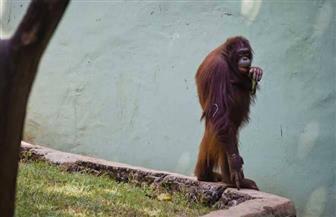 إعادة إنسان غاب للحياة البرية بعد إنقاذه في إندونيسيا