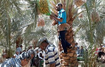 تدريب 100 مزارع بالوادي الجديد على عمليات تلقيح النخيل