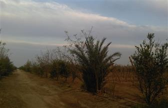 الشجرة الطيبة والنبات المعجزة.. تقي من 300 مرض واستخدمها الفراعنة في التحنيط   صور