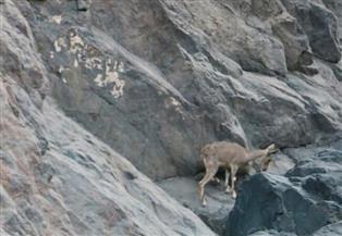 خلال اليوم العالمي للحياة البرية.. إطلاق أنثى وعل نوبي بمحمية وادي الجمال | صور