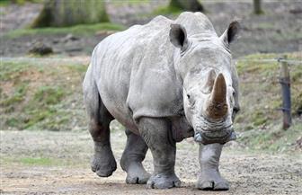 """بعد انقراض """"وحيد القرن الأبيض"""".. السجن مدى الحياة لجريمة حيازة العاج في كينيا"""