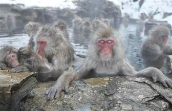 دراسة: استحمام القرود في ينابيع المياه الساخنة في اليابان يخفف شعورها بالضغط النفسي
