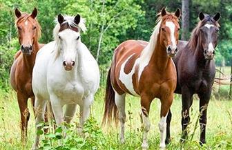 دراسة: الكثير من الأحصنة تشترك في نفس الجد الأول