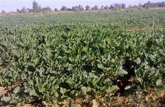 نجاح زراعة 800 فدان بنجر السكر بتوشكى | صور