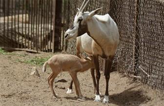 حديقة حيوان الجيزة تستقبل المولود الثاني بقطيع المها العربي النادر  صور