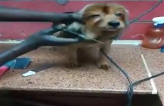 صبغة وساونا وسبا.. كوافير للقطط والكلاب في مصر  فيديو