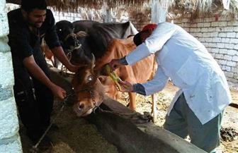 تحصين 6 آلاف رأس ماشية للوقاية من الحمى القلاعية بالشرقية
