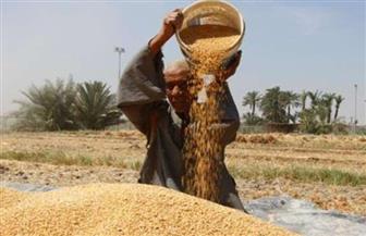 """""""الذهب الأصفر"""" في موسم الحصاد.. الحكومة: لا زيادة في سعر إردب القمح.. و1.6 مليون طن حصيلة 18 يوم توريد"""