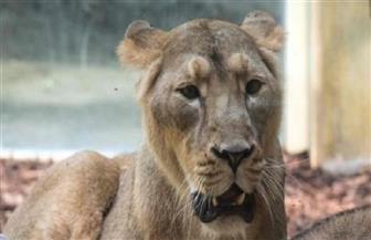 فرار عدد من الحيوانات المفترسة من حديقة حيوان غرب ألمانيا
