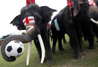 أفيال تلعب كرة القدم في تايلاند لمكافحة المراهنات قبل كأس العالم