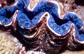 باحثون يكشفون عن محار عملاق يستخدم حمضا في حفر مخبئه بقاع المحيط