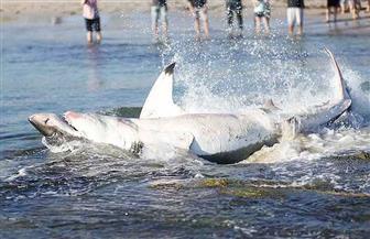 العثور على سمكة قرش ضخمة على شاطئ مشهور في أستراليا
