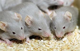 إدارة إسنا الزراعية بالأقصر تشن حملة لمقاومة الفئران