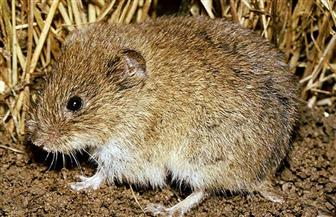 """حملة للقضاء على """"فأر الغيط"""" بالوادى الجديد"""
