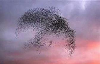 شاهد معجزة الله في طائر الزرزور | فيديو وصور