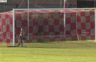 """""""كنغر"""" يصر على المشاركة في مباراة كرة قدم في أستراليا"""