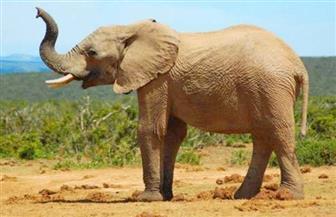 فيل بري يقتل رجلا مسنا في نيبال