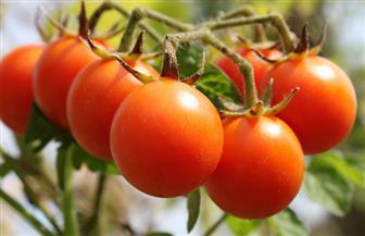 الزراعة تنفى انخفاض أسعار محصول الطماطم بسبب تفشى آفات به.. وتوضح السبب