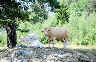 مربو الماشية في السويد يضطرون لذبحها بسبب نقص الشعير