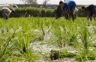 """""""زراعة الغربية"""": توزيع دورة الأرز لمحصول الموسم الجديد وفحص شكاوى المتضررين"""