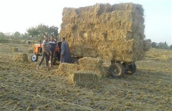 تجميع 12 ألف طن قش أرز بكفر الشيخ | صور