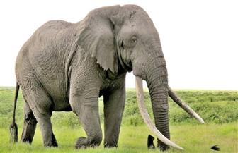 فيل يقتل امرأة نيبالية