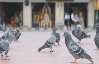 """يصفونها بـ""""الفئران المجنحة"""".. السجن والغرامة لكل من يطعم الحمام فى تايلاند"""