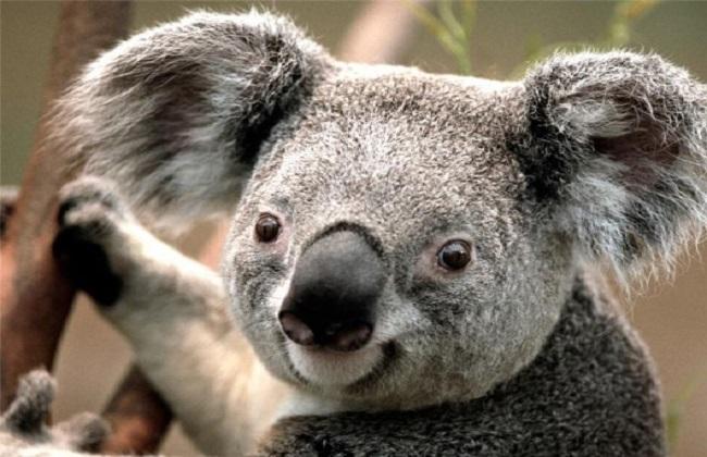تراجع سريع لأعداد حيوان الكوالا بجميع أنحاء أستراليا