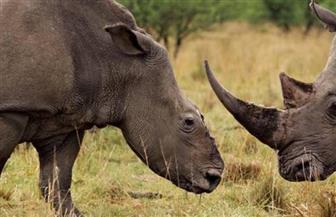 العثور على وحيد قرن من نوع نادر نافقا في نيبال