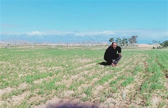 الغرابلى: زراعة 131 فدانا إرشاديا بالطرق الحديثة لزيادة إنتاجية الشعير بمطروح | صور
