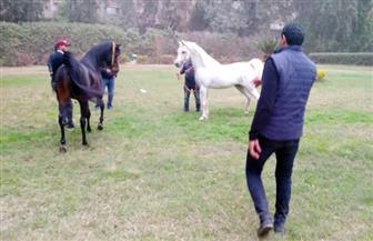 محافظ القاهرة يتفقد مزرعة الخيول العربية بعين شمس | صور