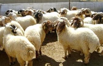 مركز البحوث الزراعية ينجح في إدخال سلالات محسنة من الأغنام والماعز في محافظة الوادي الجديد