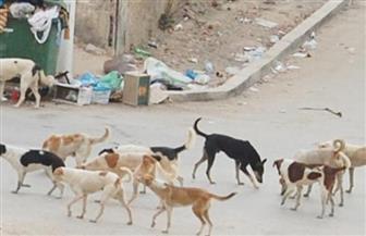 """الكلاب الضالة.. قضية حائرة بين """"رصاص المكافحة"""" وتوصيات """"الرفق بالحيوان"""".. والضحية المواطن"""