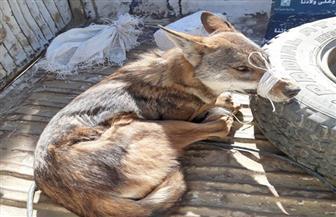 البيئة تنقذ حيوانا نادرا من الانقراض وتعيد إطلاقه بمحمية وادي الريان بالفيوم