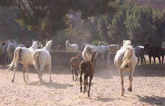 عمرها 111 عاما.. تملك أهم 5 عائلات.. محطة الزهراء الأولى فى العالم للخيول العربية الأصيلة | حوار