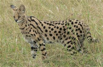 دراسة: قطط السافانا كان يمكن أن يكون لها تأثير سلبي على الحياة البرية في أستراليا