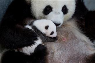الظهور الأول لصغار الباندا العملاقة في حديقة حيوان برلين| صور