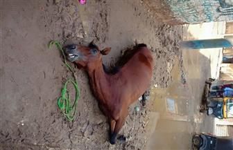 بسبب الأمطار.. نفوق حصان ونجاة صاحبه من الموت صعقا بالكهرباء في المحلة الكبرى