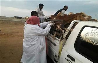 انطلاق حملات التحصين ضد حمى الوادي المتصدع بالبحر الأحمر   صور