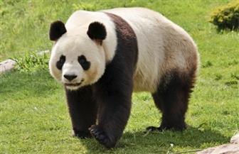 باندا عملاقة تنجب توأما نادرا في حديقة حيوان بطوكيو