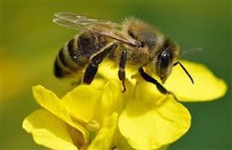 """إعجاز إلهي في قوله تعالى: """"وأوحى ربك إلى النحل.."""".. أستاذ تربية نحل العسل: لغة النحل أقرب لتعبيرات الصم والبكم"""