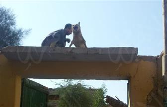 قصة مثيرة.. أهالي قرية الشيخ بقنا يقتلون ذئبا أصاب 5 أشخاص .. ويحنطونه على واجهة المنزل | صور