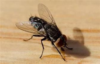 لا يتأثر بالمبيدات .. ما سر الانتشارالكثيف للذباب بالقاهرة والمحافظات؟ خبراء يجيبون
