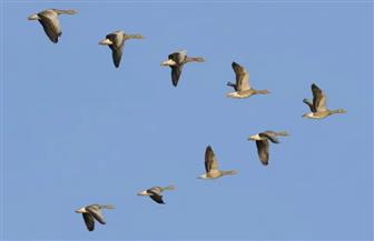 الطريق من أين؟ دراسة صينية ترصد كيفية تدفق المعلومات داخل سرب الطيور