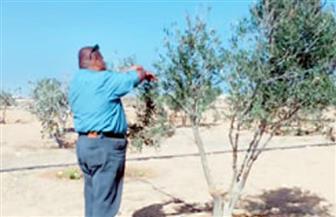 بدء الرش التطهيري والوقائي لأشجار زيتون مطروح استعدادا للموسم الجديد | صور