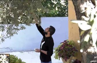 معاناة فلسطين على حبات الزيتون | فيديو