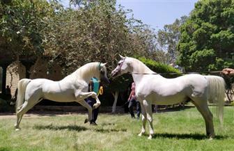 الزراعة تنظم مزادا لبيع فائض خيول محطة الزهراء للخيول العربية