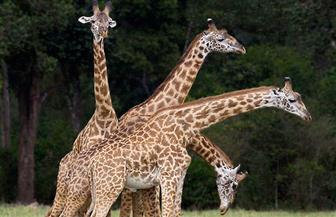 3 زرافات ضمن 10 حيوانات نفقت بسبب حريق في متنزه للحياة البرية بأمريكا